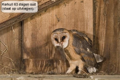 Uilen004-Kerkuil 63 dagen (Ernst Dirksen)